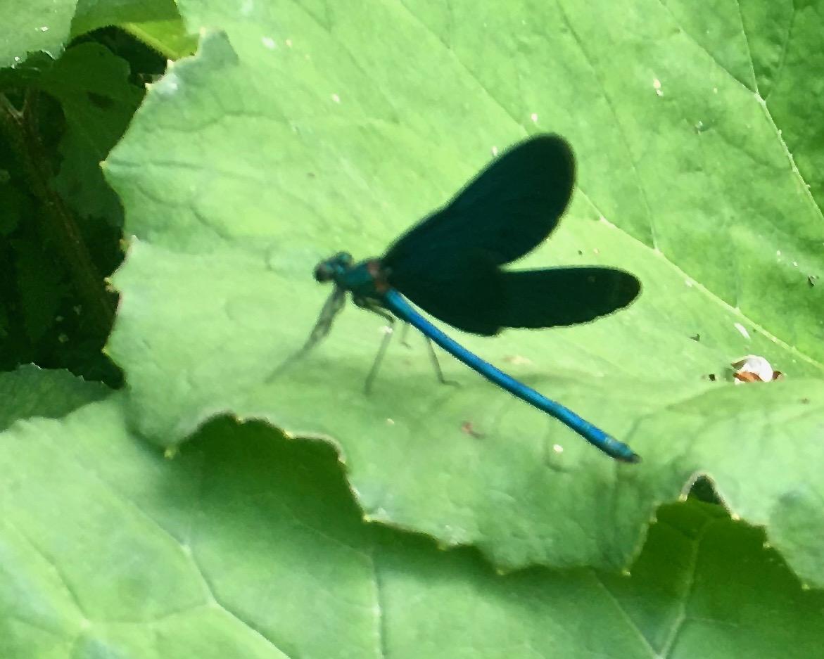 Syri I Kalter Das blaue Auge eine Karstquelle in Albanien Blaue Libelle bei Syri i Kalter Albanien