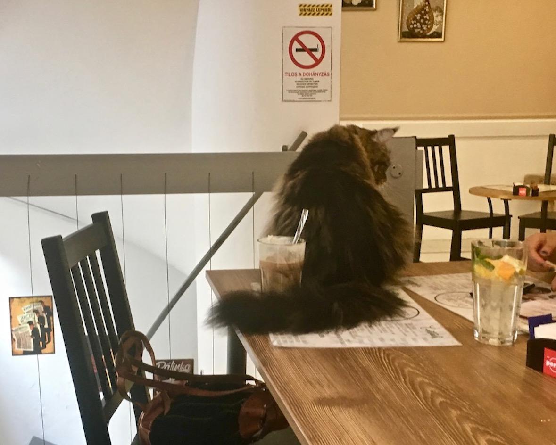 Gäste werden geduldet im Cat-Cafe Budapest
