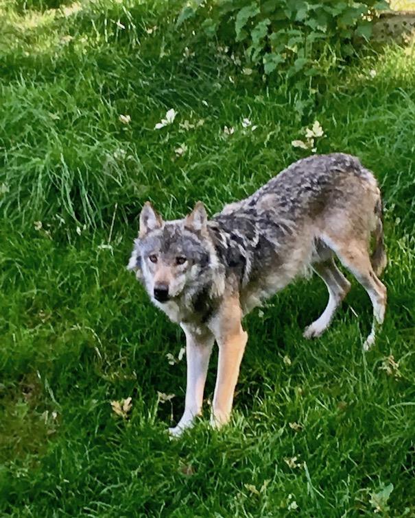 Sababurg-Tierpark Der böse Wolf