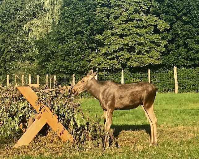 Sababurg Tierpark Elch beim Äsen