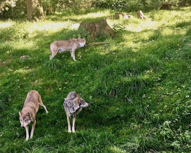 Sababurg Tierpark Wölfe