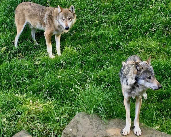 Sababurg Tierpark die Wölfe kommen