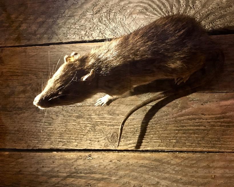 Rattenfängerstadt-Hameln-ausgestopfte-Ratte