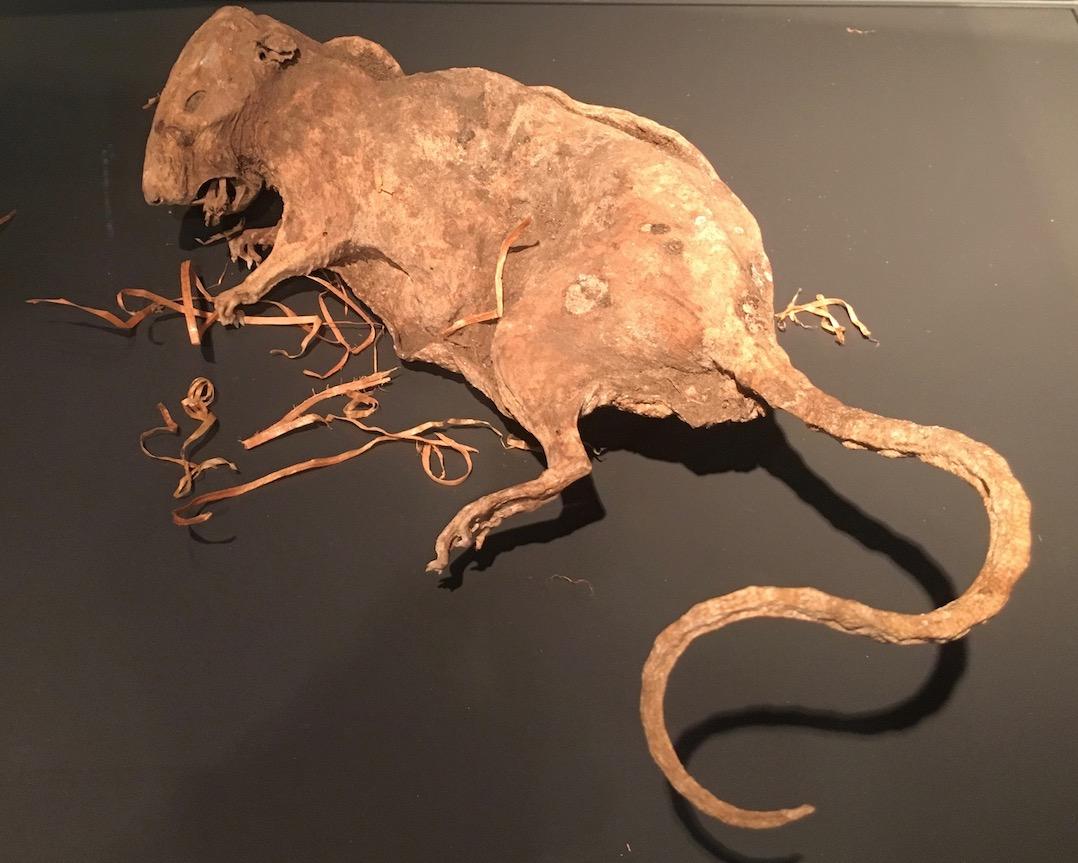 Rattenfängerstadt-Hameln mumifizierte Ratte