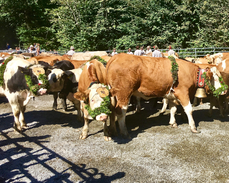 Alpabtrieb 2019 Dornbirn Österreich Kopfputz der Kühe
