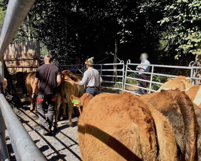 Alpabtrieb 2019 Dornbirn Österreich immer hinter her