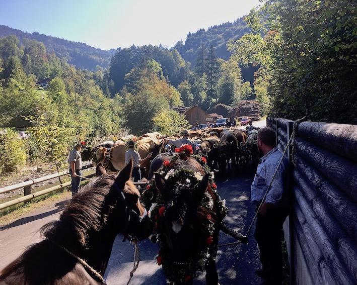 Alpabtrieb Dornbirn Österreich Sammelplatz der Tiere