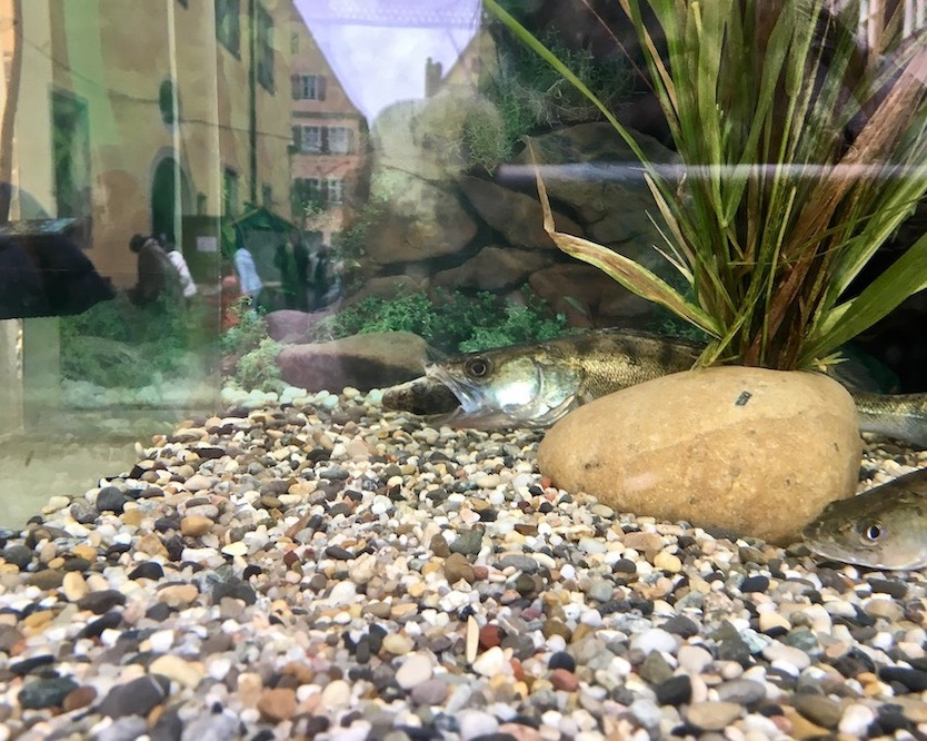 Ein gefräsiger Zander bei der 34.Fisch-Erntewoche in Dinkelsbühl