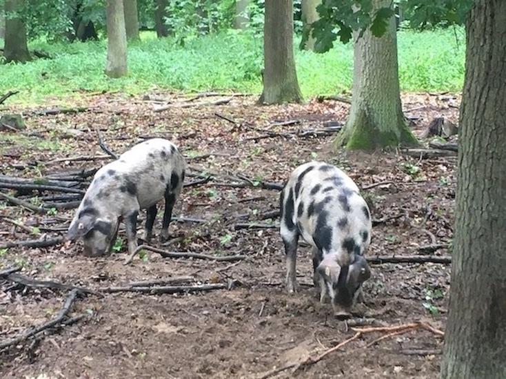 Ivenacker Eichen Mecklenburg-Vorpommern Weideschweine im Hutewald