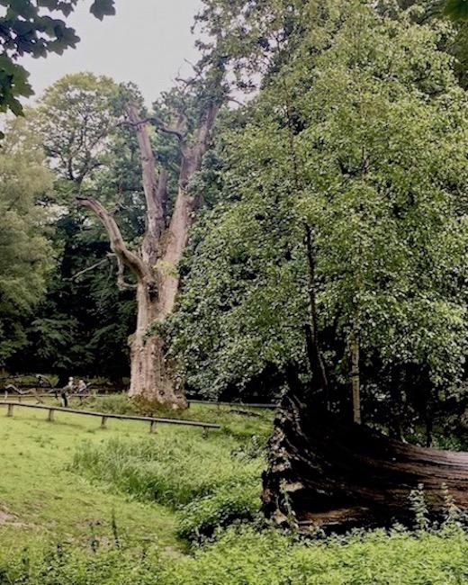 Ivenacker Eichen Meklenburg-Vorpommern Lebender Baum und Toter Baum