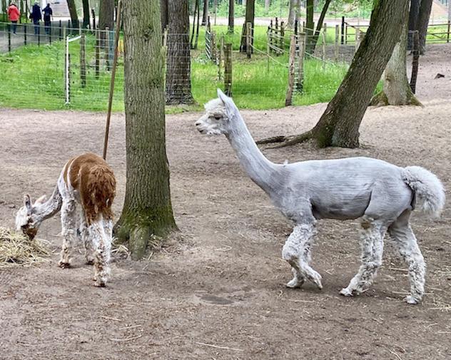 Wolfcenter Dörverden Alpaka-Farm Lorenzo's Land Hengst Gizmo und Wallach BamBam