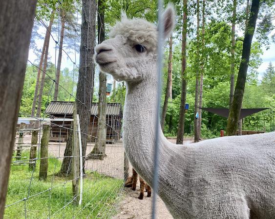 Wolfcenter Dörverden Alpaka-Farm Lorenzo's Land Wallach BamBam kommt