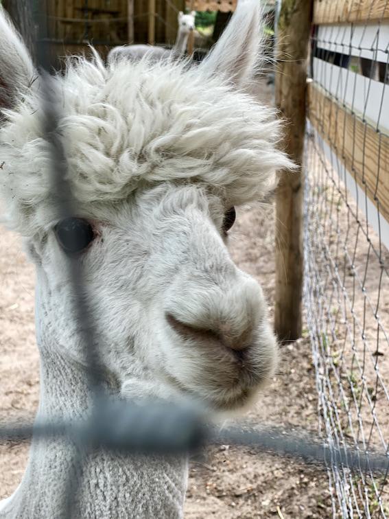 Wolfcenter Dörverden Alpaka-Farm Lorenzo's Land Wallach BamBam sehr zutraulich