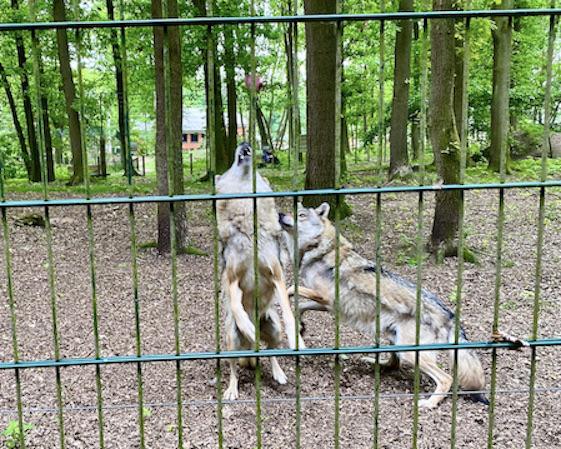 Wolfcenter Dörverden Heulende Wölfe im Tiergehege Futter gefangen