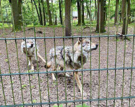 Wolfcenter Dörverden Heulende Wölfe im Tiergehege Futter kommt