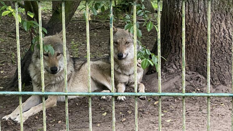 Wolfcenter Dörverden Heulende Wölfe im Tiergehege Ruhende Wölfe