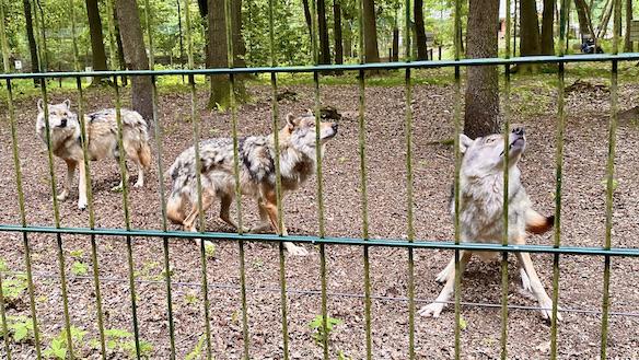 Wolfcenter Dörverden Heulende Wölfe im Tiergehege Wölfe unter Spannung