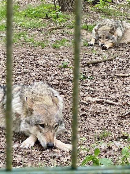 Wolfcenter Dörverden Heulende Wölfe im Tiergehege alles im Blick