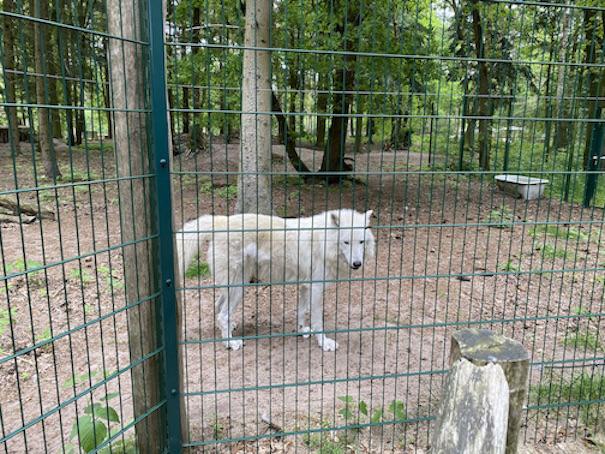 Wolfcenter Dörverden Heulende Wölfe im Tiergehege weiße Wölfe